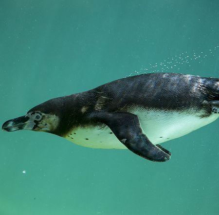 Quelles sont les différences entre les manchots et les pingouins ?