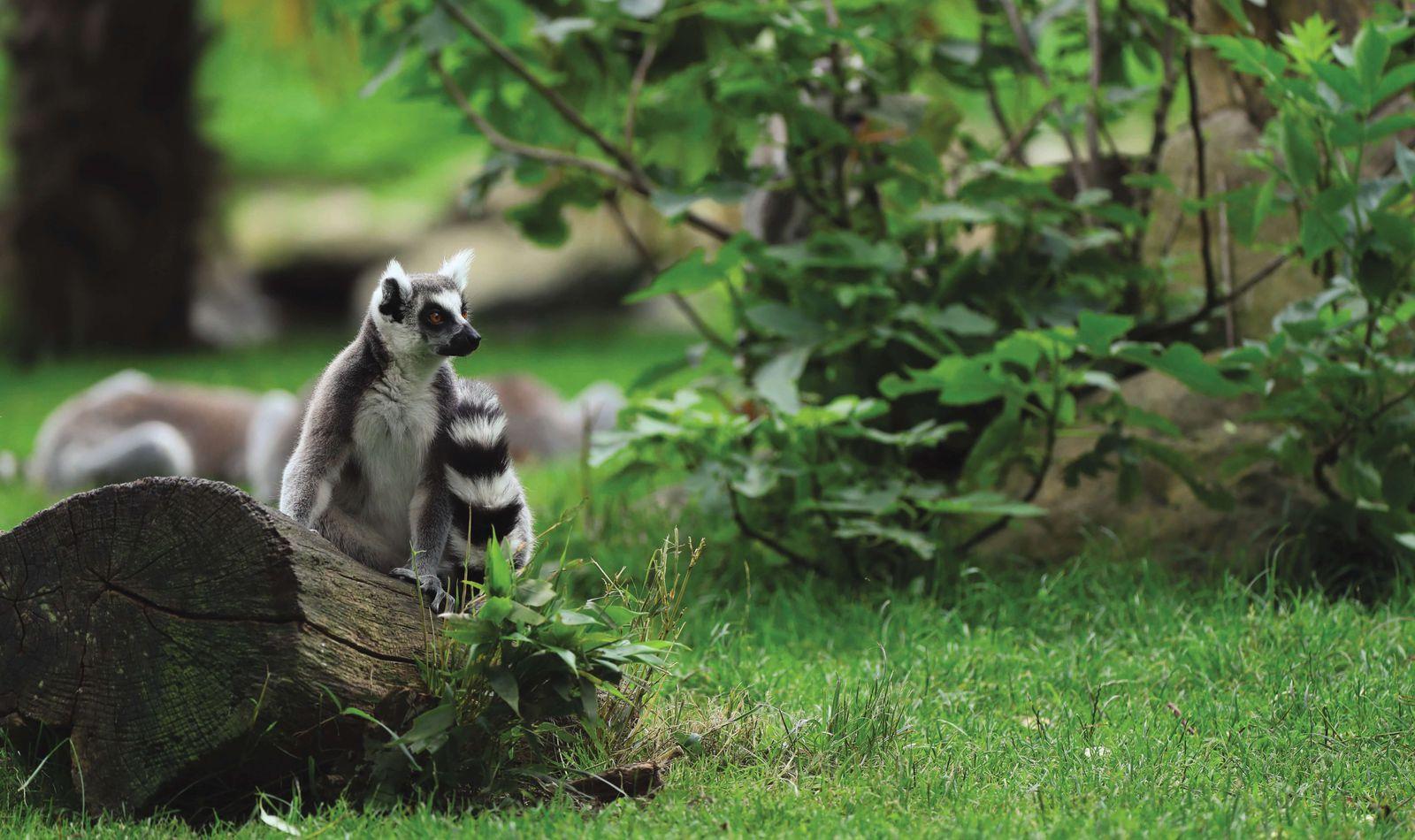 Maki catta - Animaux extraordinaires du ZooParc