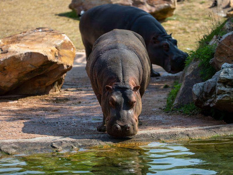 Hippopotame au bord de l'eau - Les animaux de La Réserve des Hippopotames - ZooParc de Beauval