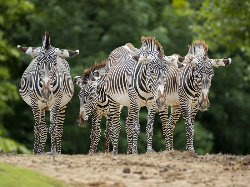 Groupe de zèbres - Les animaux de La Savane Africaine - ZooParc de Beauval