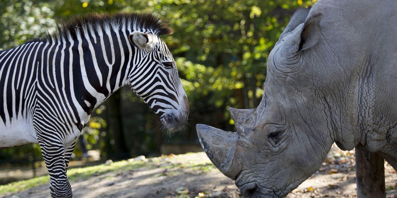 Zèbre et rhinocéros - Les animaux de La Savane Africaine - ZooParc de Beauval