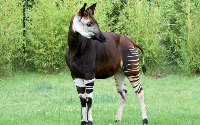 Okapi - L'histoire du ZooParc