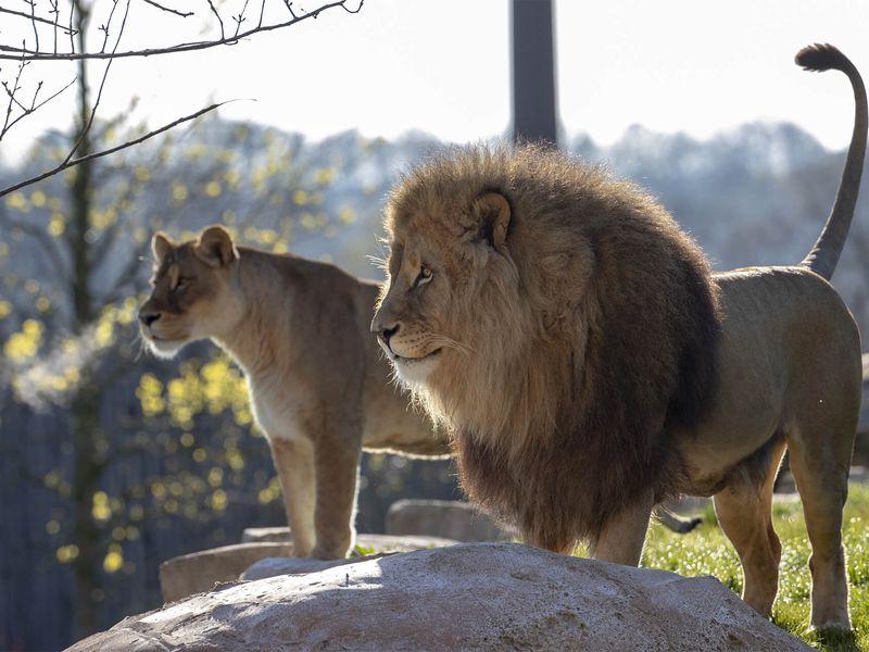 Lion et lionne - Les animaux de La Terre des Lions - ZooParc de Beauval