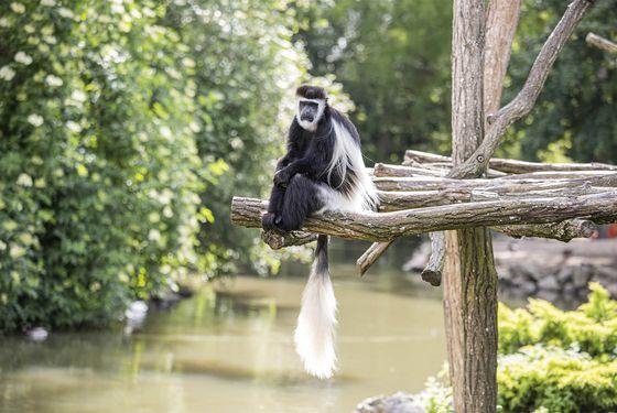 Colobe Guéréza - Les animaux des Allées des Petits Singes - ZooParc de Beauval