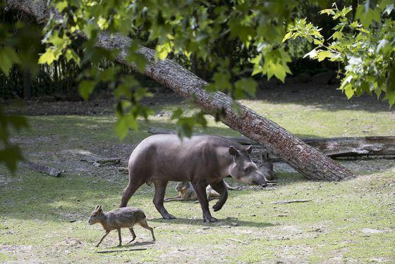 Tapir et mara