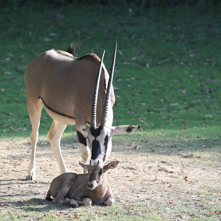 Oryx beisa - Consulter les mesures sanitaires avant votre visite - ZooParc de Beauval