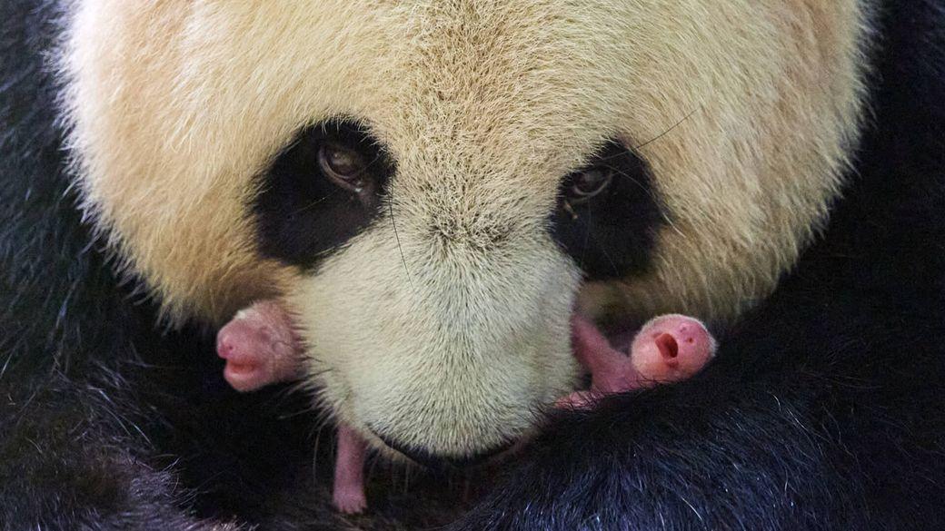 Huan Huan et ses jumelles panda - Bébés panda - ZooParc de Beauval