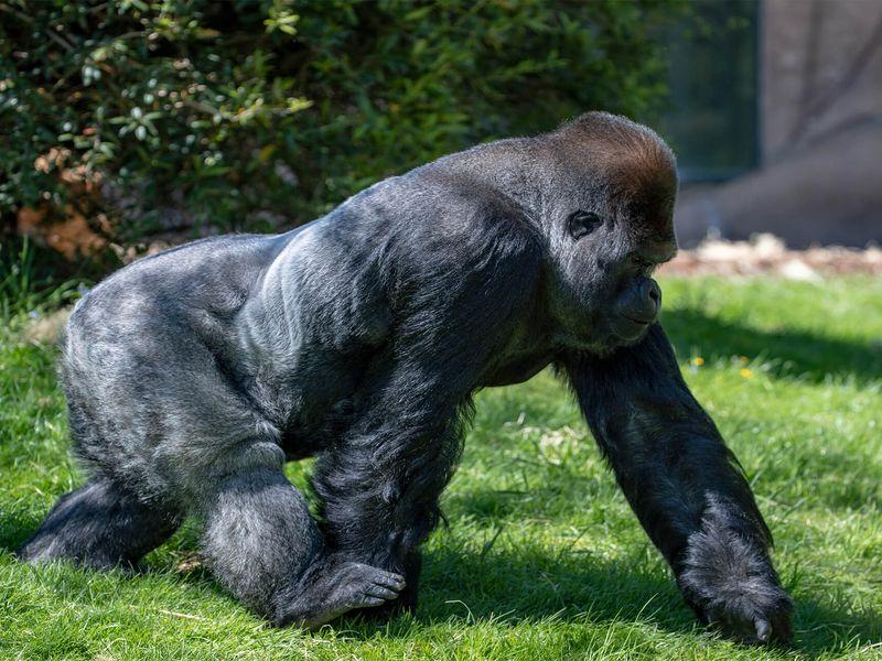 Gorille des plaines de l'Ouest - Animaux extraordinaires du ZooParc