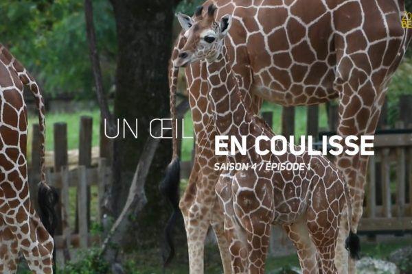 Un Œil en Coulisse saison 4 – Les bébés de la savane