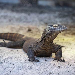 Dragon de Komodo - Animaux extraordinaires du ZooParc