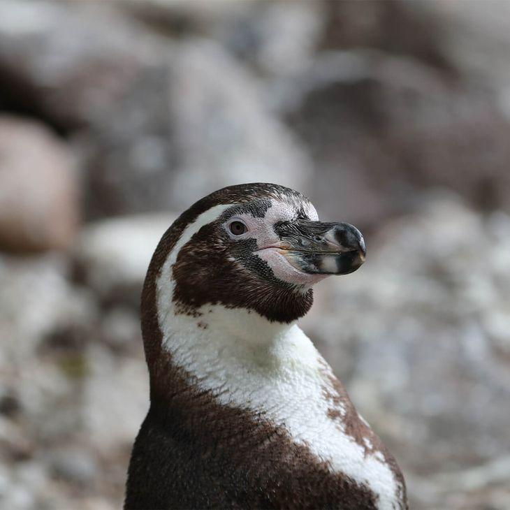 Manchot de Humboldt - Animaux extraordinaires du ZooParc