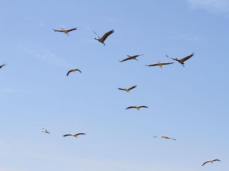 Grues et cigognes - Spectacle d'oiseaux - Les Maîtres des Airs
