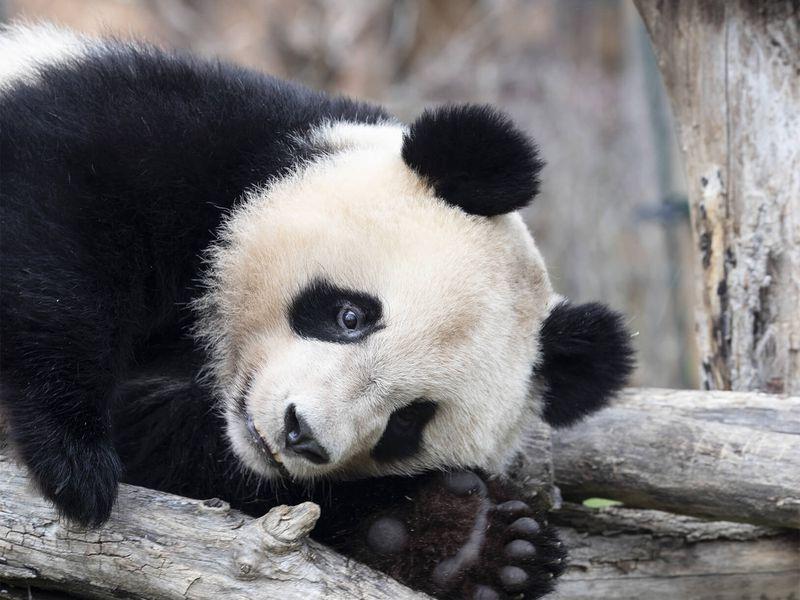 Yuan Meng, bébé panda - Les animaux des Hauteurs de Chine - ZooParc de Beauval