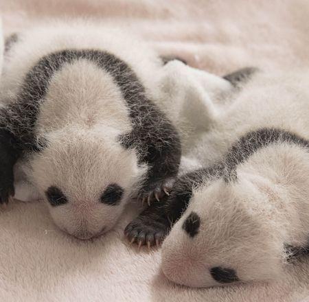 Parrainages bébés panda géant - ZooParc de Beauval
