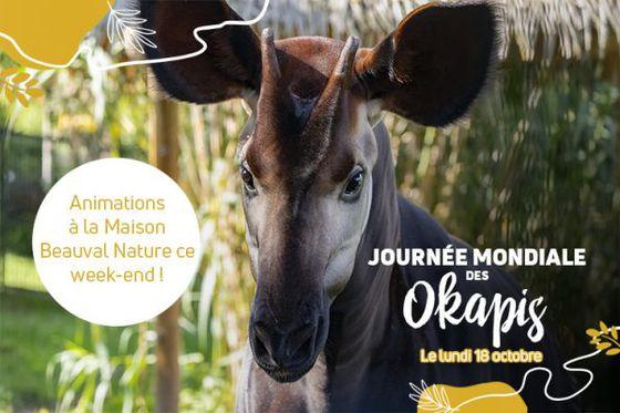 Les okapis à l'honneur ce week-end à Beauval !