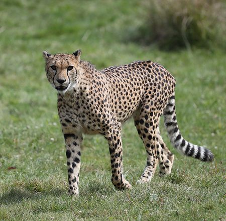 Les guépards - Animation - Activité du ZooParc de Beauval