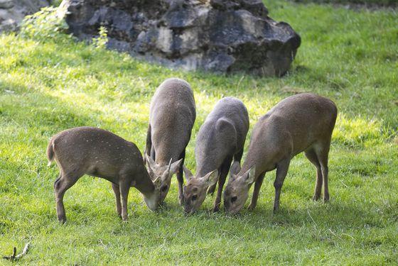 Cerf cochon - Les animaux de La Plaine Asiatique - ZooParc de Beauval