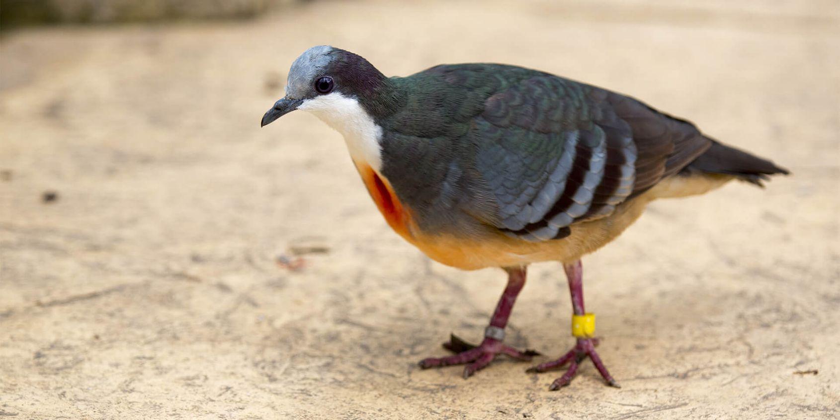 Gallicolombe poignardée - Les animaux de La Serre Tropicale des Oiseaux - ZooParc de Beauval
