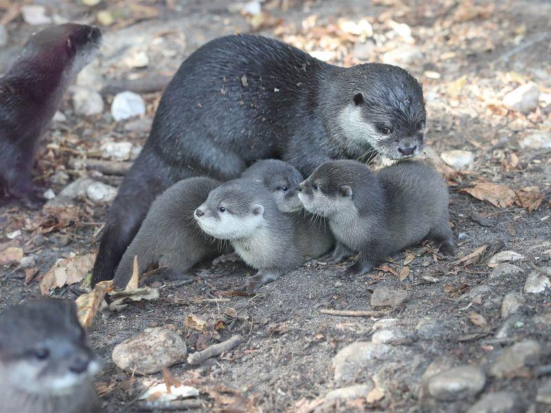 Loutre naine et ses bébés - Venez visiter les animaux du ZooParc