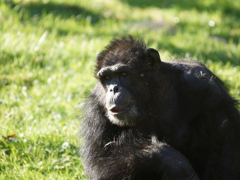 Chimpanzé - Animaux extraordinaires du ZooParc