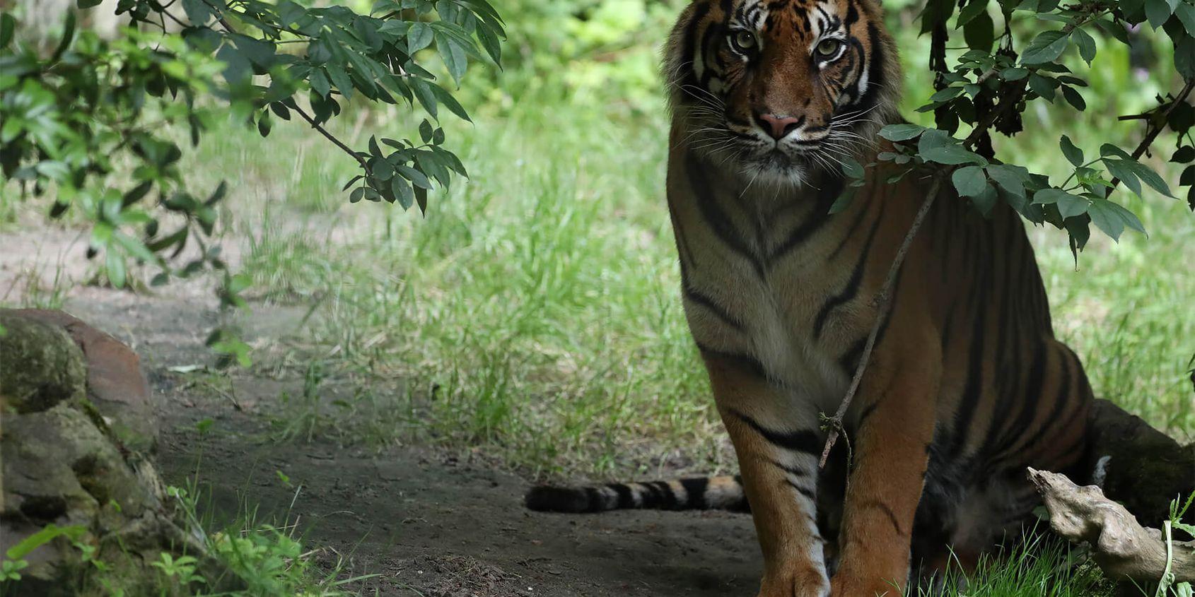 Tigre de Sumatra - Les animaux du Bois des Fauves - ZooParc de Beauval