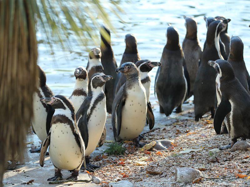 Manchots de Humboldt - Animaux extraordinaires du ZooParc