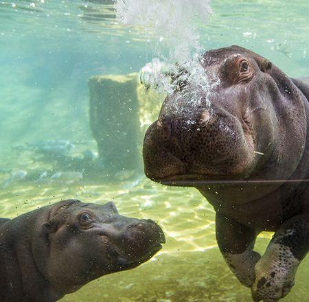Au rendez-vous des hippopotames - Animation - Activité du ZooParc de Beauval