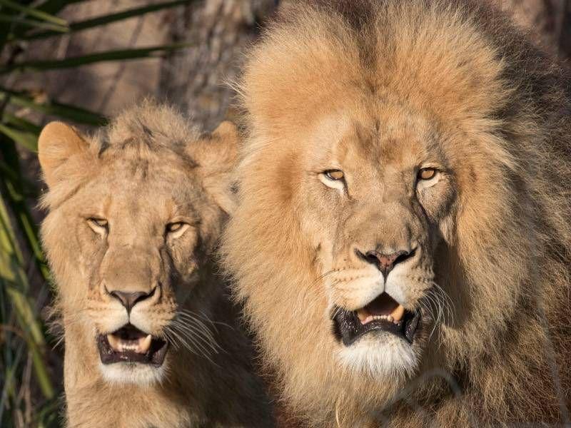 Lion et lionne d'Afrique - Les animaux de La Terre des Lions - ZooParc de Beauval