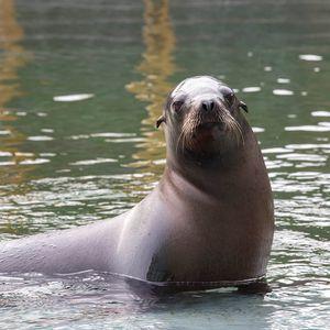 Otarie de Californie - Animaux extraordinaires du ZooParc