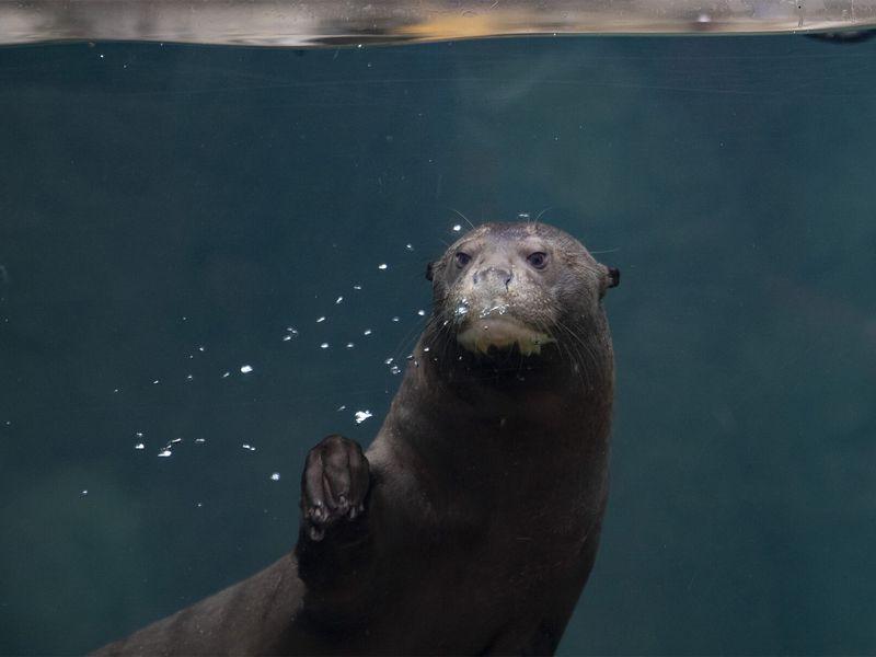 Loutre géante - Les animaux du Dôme Équatorial - ZooParc de Beauval