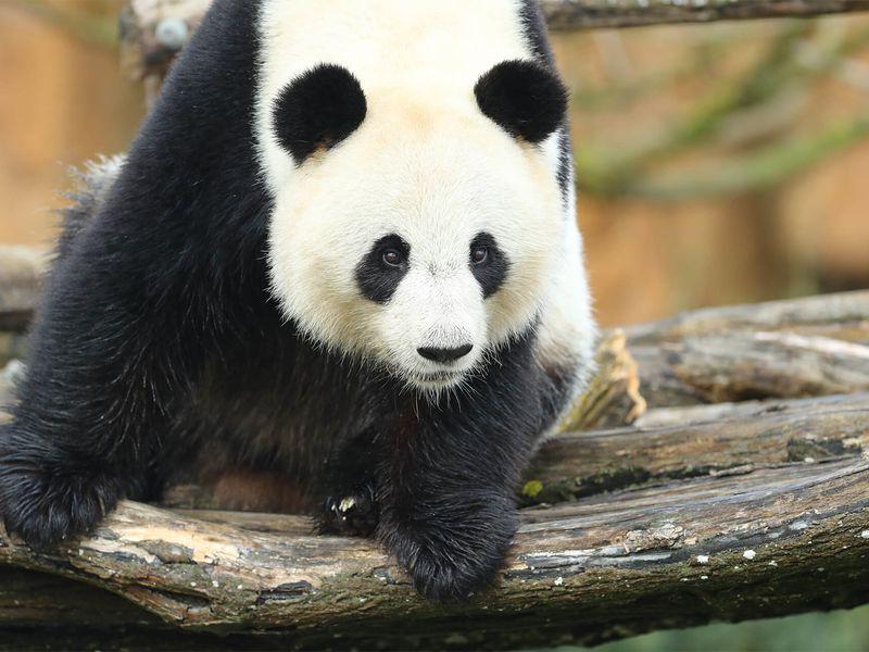 Huan Huan - Panda géant - Les animaux des Hauteurs de Chine - ZooParc de Beauval