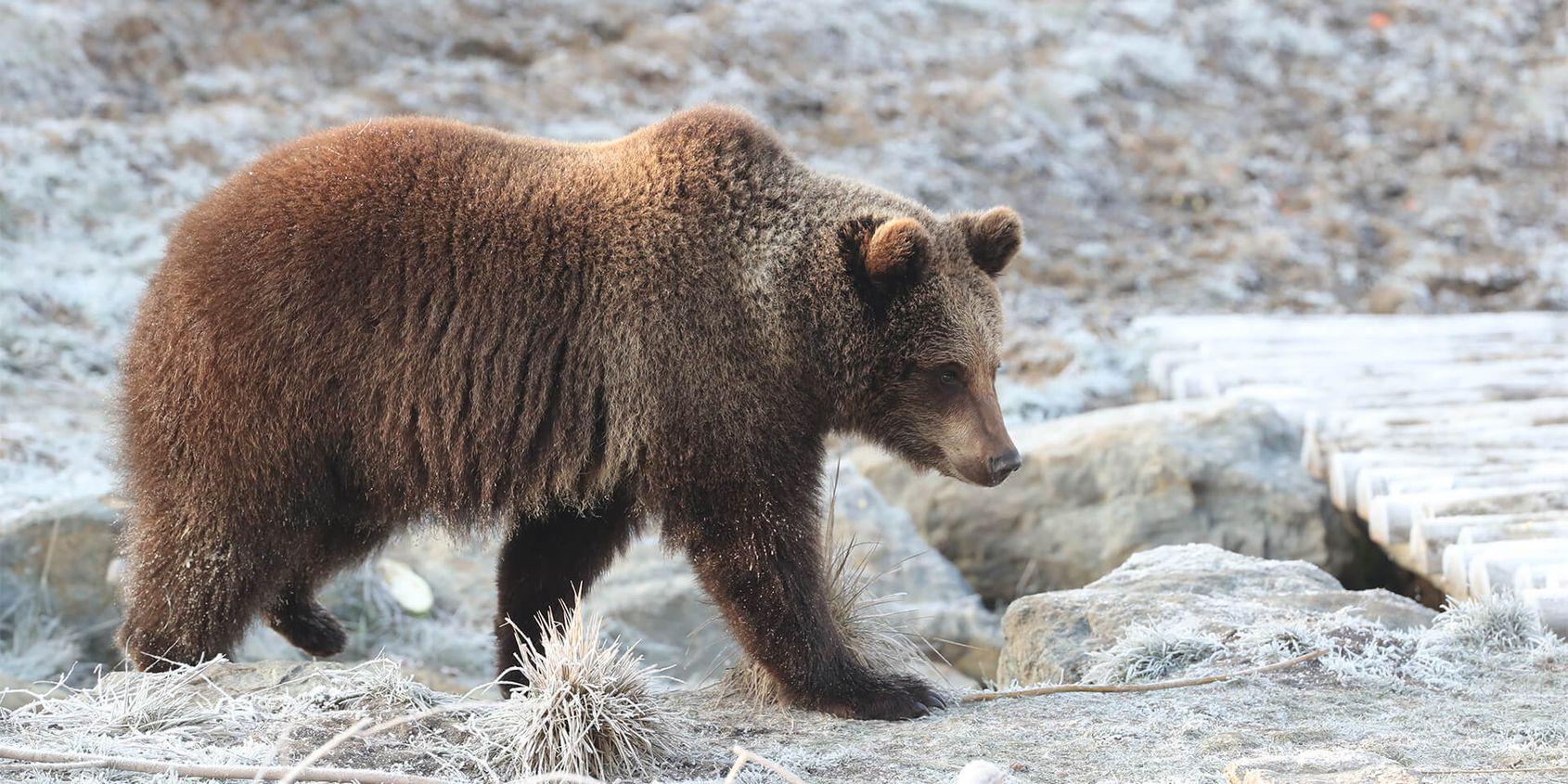 Ours brun sur sol gelé - Les animaux du Territoire Nord-Américain - ZooParc de Beauval