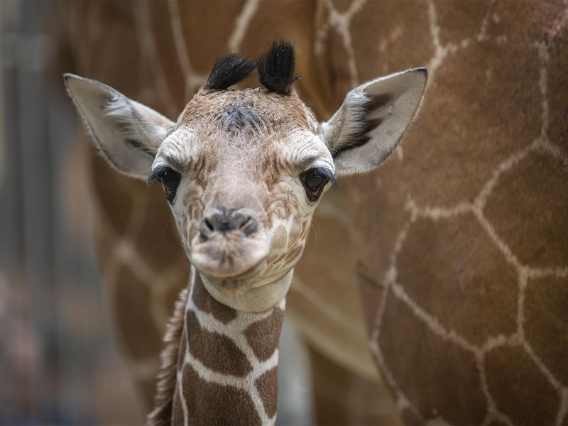 Profil Kimia, notre bébé girafe - Les animaux de La Savane Africaine - ZooParc de Beauval