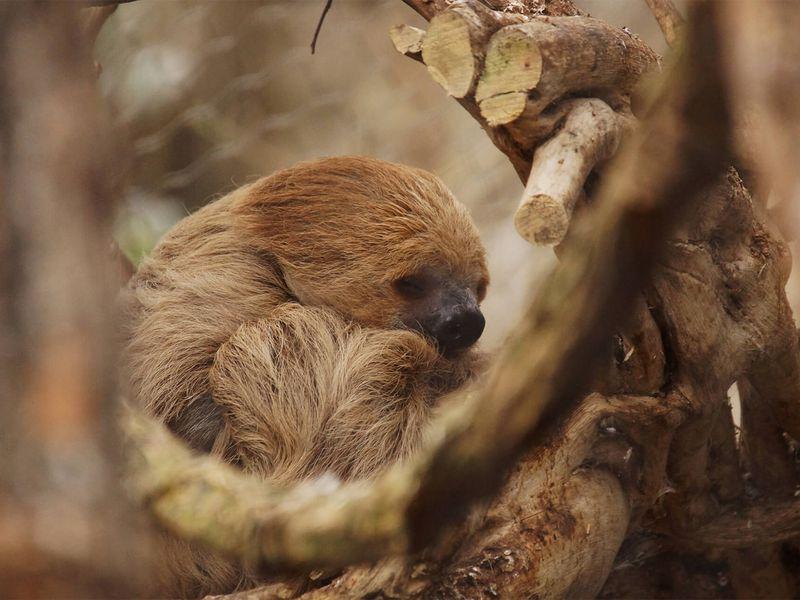 Paresseux - Animaux extraordinaires du ZooParc