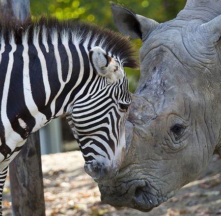 zebre et rhinoceros blanc