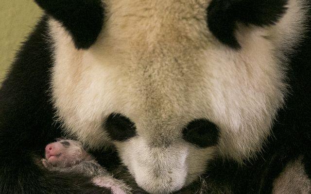 Huan Huan et Yuan Meng - L'histoire du ZooParc