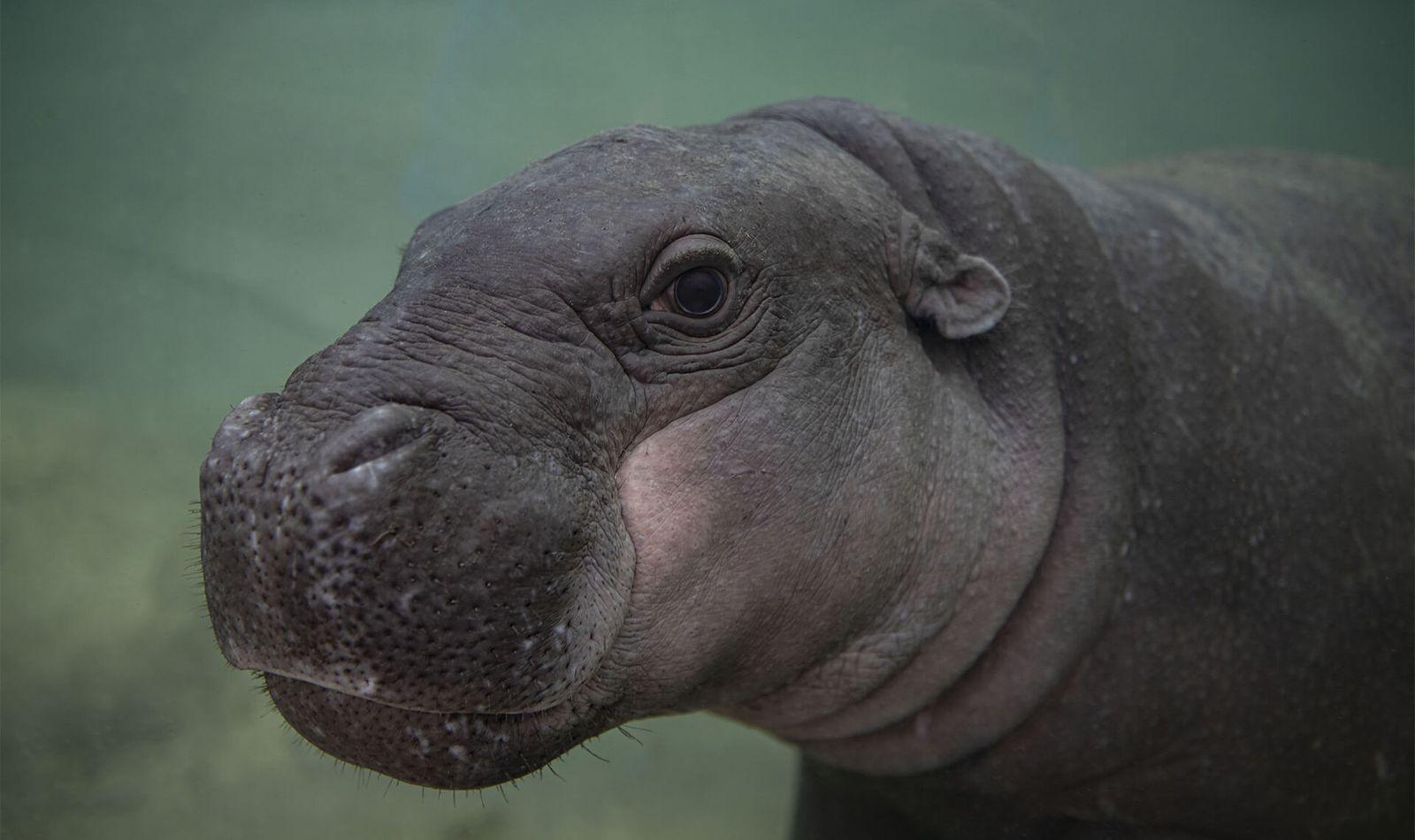 Hippopotame pygmée - Animaux extraordinaires du ZooParc