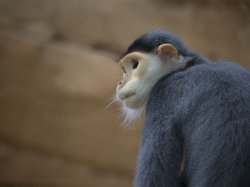 Langur de Douc - Animaux extraordinaires du ZooParc