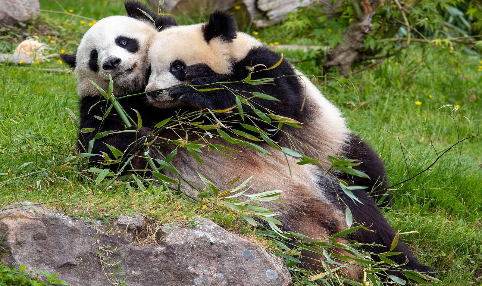 Pandas géants - Animaux extraordinaires du ZooParc