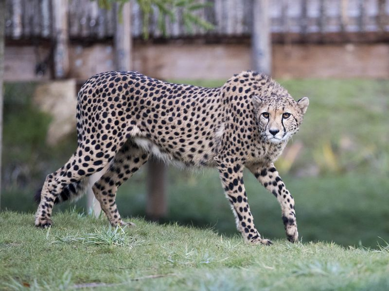 Guépard, le mammifère le plus rapide du monde - Les animaux du Territoire des Guépards - ZooParc de Beauval