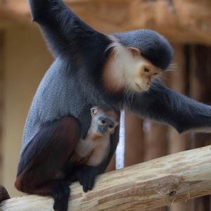 Red-shanked douc langur - Animals of ZooParc de Beauval