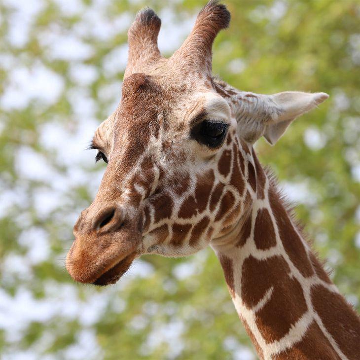 Girafe réticulée - Animaux extraordinaires du ZooParc