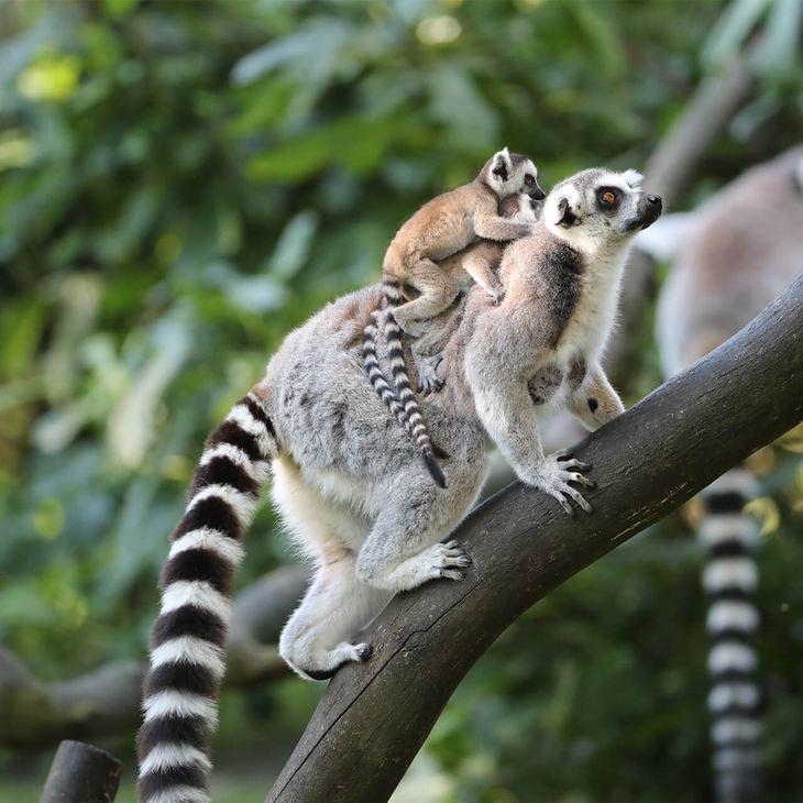 Parrainez nos maki cattas - ZooParc de Beauval
