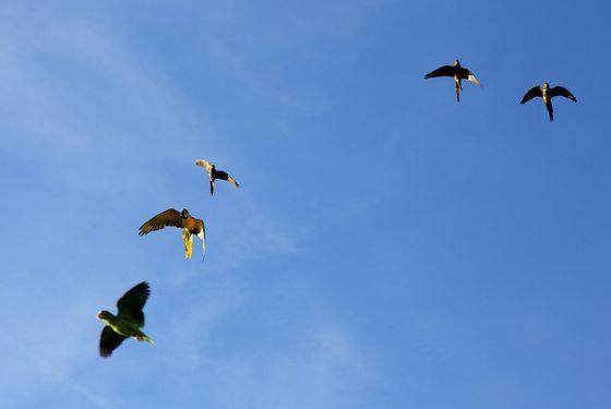 Vol des perroquets - Spectacle d'oiseaux - Les Maîtres des Airs