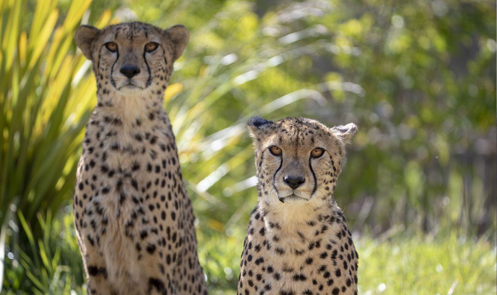 Le Territoire des Guépards - Territoire du ZooParc de Beauval