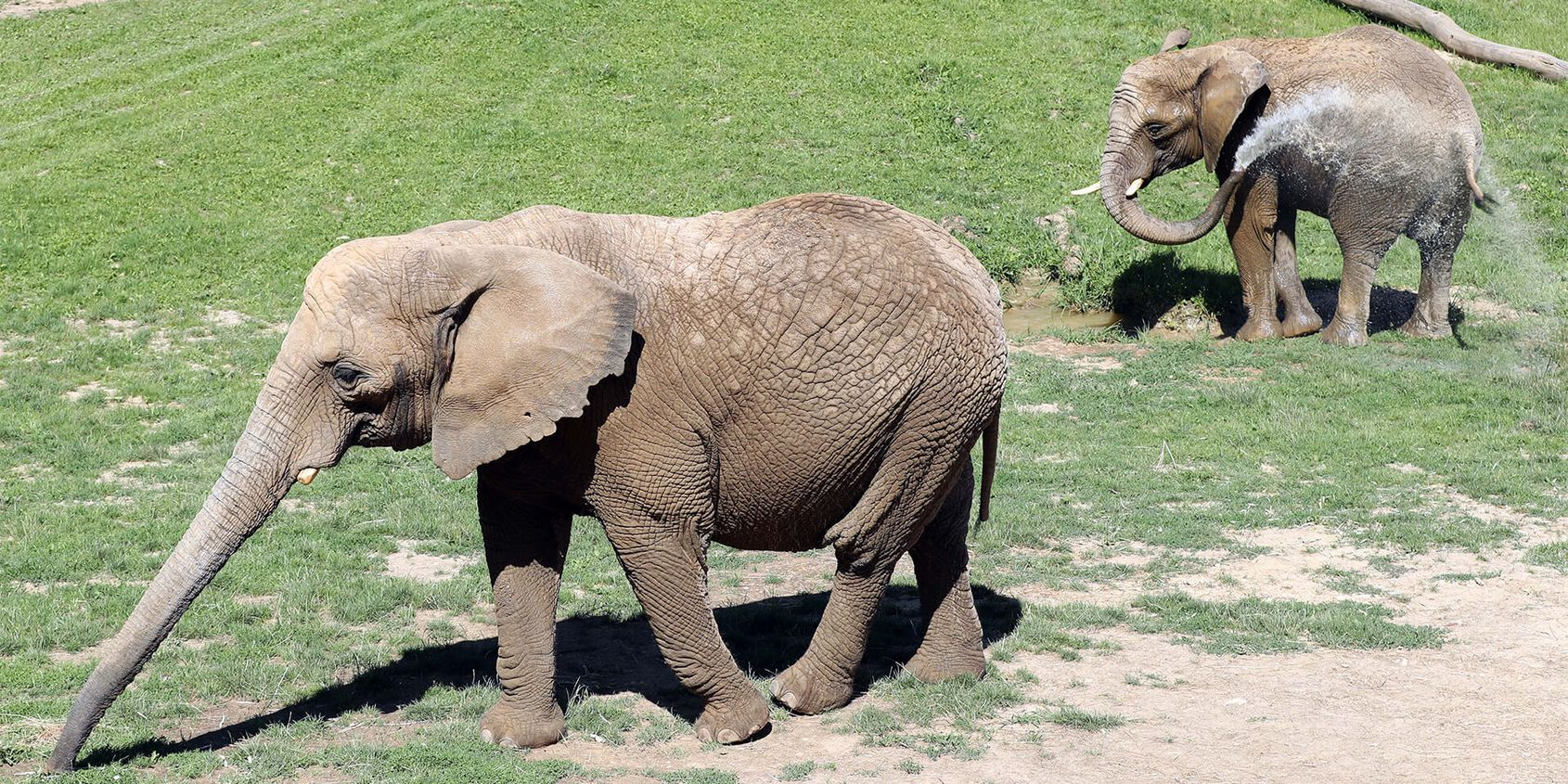 Éléphants utilisant leurs trompes - Les animaux de La Plaine des Éléphants - ZooParc de Beauval