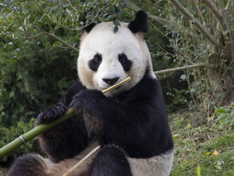 Yuan Zi - Panda géant - Les animaux des Hauteurs de Chine - ZooParc de Beauval