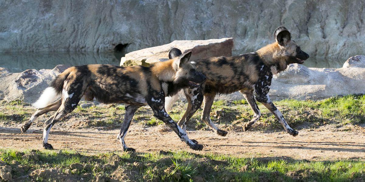Lycaons - Les animaux de La Terre des Lions - ZooParc de Beauval