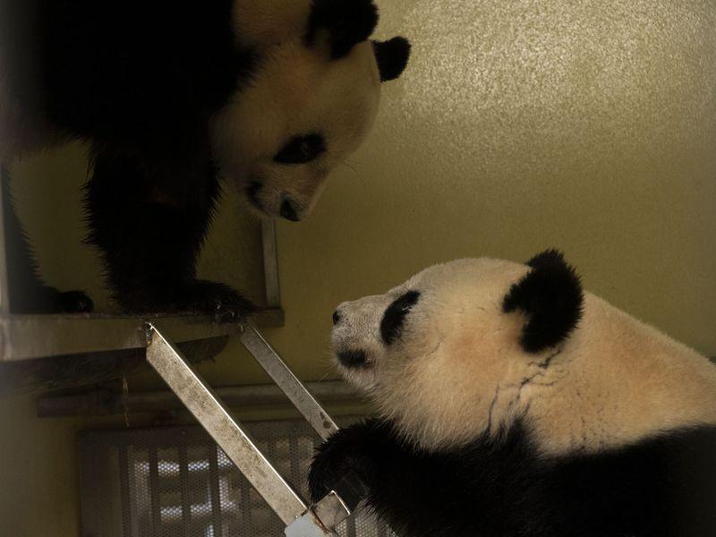 Mise en contact 2021 Huan Huan et Yuan Zi - ZooParc de Beauval
