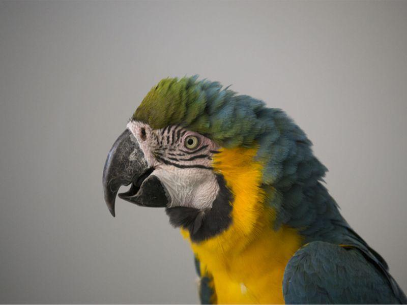 Ara ararauna - Les animaux de La Rotonde des Perroquets - ZooParc de Beauval